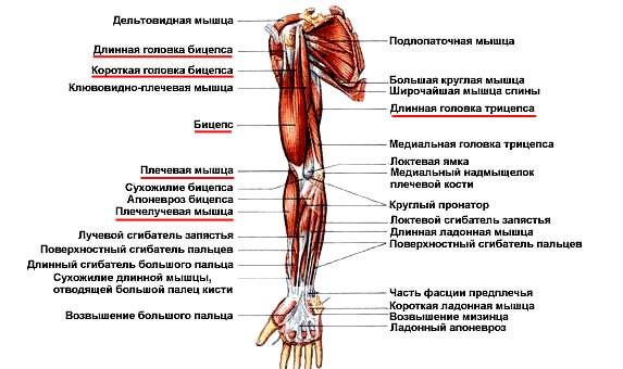 Упражнения для похудения плечей рук
