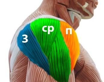 Упражнения для рук плечей